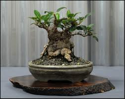 bonsai setek