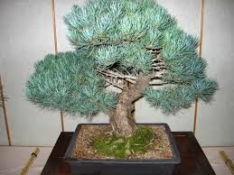 Top Grafting Dan Slide Grafting Tanaman Bonsai