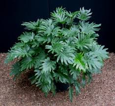 ornamental plants philodendron
