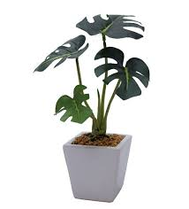mini philodendron plants