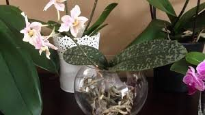 Selection of phalaenopsis orchid plant seeds