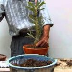 Persiapan Penanaman Bonsai Adenium Pot